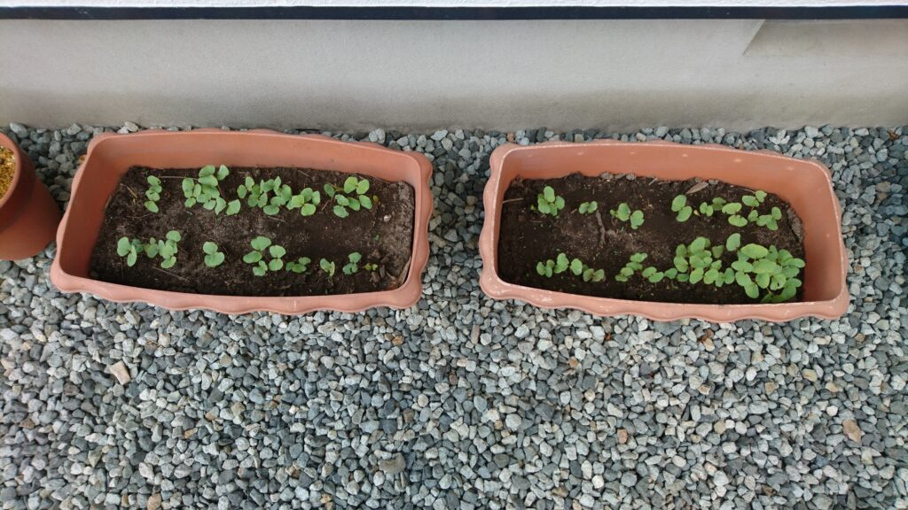 素人のテキトー家庭菜園 そばの種発芽(種植えから8日後)
